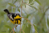 Magnolia Warbler