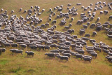 30 million sheep in NZ