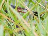 Black Bittern