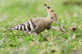 Hoopoe   Scientific name - Upupa epops   Habitat - Rare in the Philippines, found in open scrub, dry ricefields and park-like settings.   [CAVITE, 40D + 500 f4 L IS + Canon 1.4x TC, 475B tripod/ 3421 gimbal head]