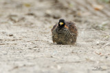 Barred Buttonquail (female)   Scientific name - Turnix suscitator fasciata (endemic race)   Habitat - Drier grassland and scrub, often seen along highways or on dirt roads.   [20D + 500 f4 IS + Canon 1.4x TC, hand held supported by car window]