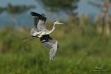 Grey Heron (Ardea cinerea, migrant)   Habitat - Uncommon in wetlands.  Shooting info - Candaba wetlands, Jan. 6, 2010, 7D + 400 2.8 IS + Canon 1.4x TC, 475B/3421 support, f/5.6, ISO 400, 1/1600 sec, manual exposure in available light.