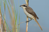 Brown Shrike (Lanius cristatus, migrant, female) 
