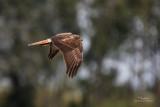 Eastern Marsh-Harrier (Circus spilonotus, male)   Habitat - Uncommon, primarily in wetlands and grasslands.   Shooting info - 1DM2 + Sigmonster, 800 mm, f/8, 1/1250 sec, ISO 400, major crop, 475B/3421 support