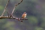 Brown Shrike   Scientific name - Lanius cristatus   Habitat - Common in all habitats at all elevations.   [MASINLOC, ZAMBALES, 20D + 400 5.6L, hand held, jpeg capture]