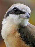 Brown Shrike   Scientific name - Lanius cristatus   Habitat - Common in all habitats at all elevations.   [350D + Sigmonster (Sigma 300-800 DG)]