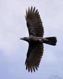 Large-billed Crow   Scientific name - Corvus macrorhynchos   Habitat - open country.   [1DM2 + 100-400 IS, hand held]
