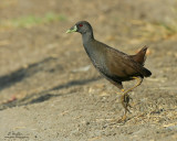 Plain Bush-Hen  (a near Philippine endemic)   Scientific name - Amaurornis olivaceus   Habitat - Drier grasslands and scrub.   [300D + Sigmonster (Sigma 300-800 DG), 475B/3421 support]