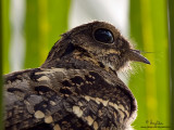 Philippine Nightjar 