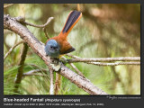 Blue-headed_Fantail-IMG_1052.jpg