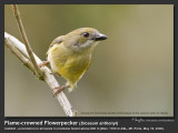 Flame-crowned_Flowerpecker-IMG_0030.jpg