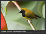 Flaming_Sunbird-IMG_5094.jpg