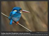 Indigo-banded_Kingfisher-IMG_8158.jpg