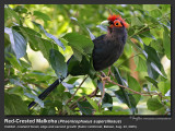 Red-created_Malkoha-IMG_4529.jpg