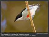 Red-keeled_Flowerpecker-IMG_8083.jpg