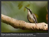 Stripe-headed_Rhabdornis-IMG_0991.jpg