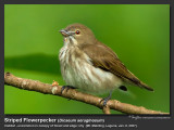 Striped_Flowerpecker-IMG_7230.jpg