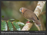White-eared_Brown-Dove-IMG_1250.jpg