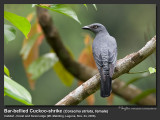 Bar-bellied_Cuckoo-Shrike-IMG_2474.jpg