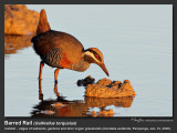 Barred_Rail-IMG_9849.jpg