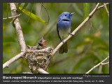 Black-naped_Monarch-IMG_9827.jpg