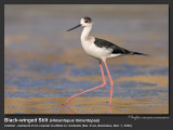 Black-winged_Stilt-KZ2L1839.jpg