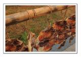 Preserved Ducks Under  the Sun