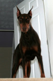 My dobe in approx 2007(about 10 years old)