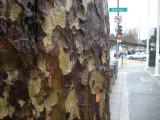 Geary Blvd. Tree