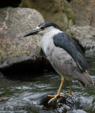 Night Heron Nycticorax nycticorax.jpg