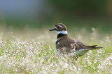 Kildeer and morning dew; Pluvier Kildir (Charadrius vociferus)