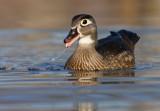 Wood-duck (Aix-sponsa) female