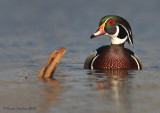 Wood-duck (Aix-sponsa) male