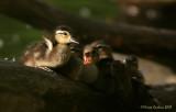 Brothers-Wood-duck (Aix-sponsa)