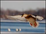 Mallard-(Anas-platyrhynchos)