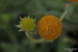 ABHA_Flower_buds - 010.JPG
