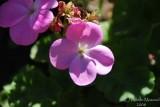 Spring Flowers in SA - 003.JPG
