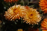 Spring Flowers in SA - 008.JPG