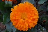 Spring Flowers in SA - 016.JPG