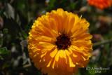 Spring Flowers in SA - 019.JPG