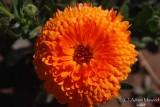 Spring Flowers in SA - 021.JPG