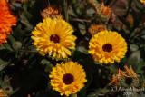 Spring Flowers in SA - 023.JPG