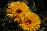 Spring Flowers in SA - 025.JPG