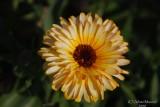 Spring Flowers in SA - 037.JPG