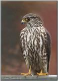 Faucon émérillon ( Merlin )