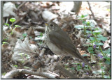 Grive à joues grises ( Gray-cheeked Thrush )