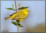 Paruline jaune ( Yellow Warbler )