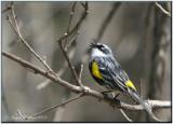 Paruline à croupion jaune ( Yellow-rumped Warbler )