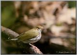 Paruline couronnée ( Ovenbird )