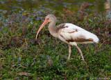 Ibis blanc/White Ibis